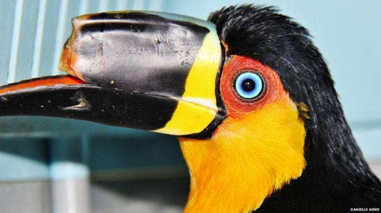 巨喙受傷的大嘴鳥 Tieta