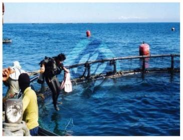 乾淨的海域可作箱網養殖。