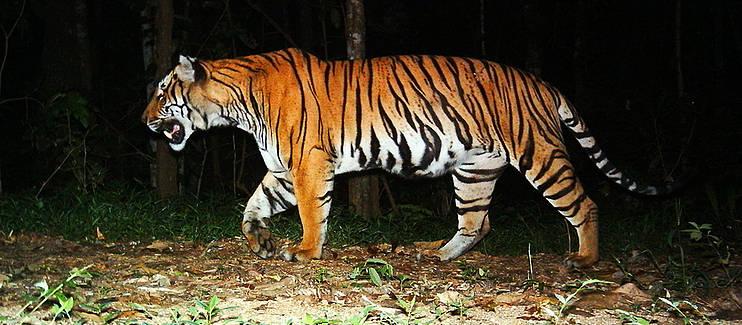 在泰國 Hua Kha Kheng 野生動物保護區設置的自動攝影機拍下的老虎影像。圖片來源:http://www.sospecies.org/