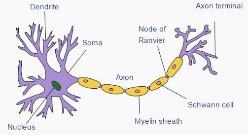 神經細胞示意圖。圖片來源:wikipedia