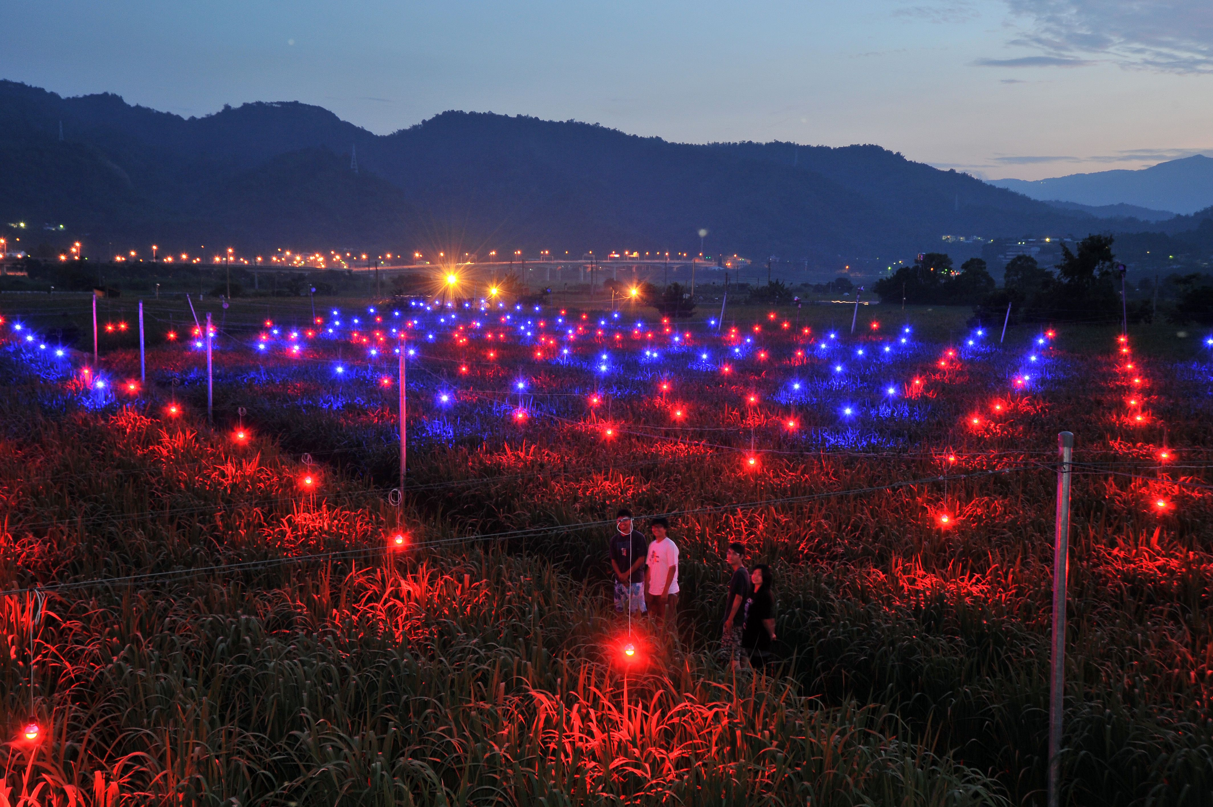 工研院團隊於 2010 年冬季開始在埔里茭白筍田架設陣列式的 LED 光源,試驗最適合茭白筍生長的光波長;紅藍相間的光點如繁星般地散落其中,是當時十分特別的埔里夜景。圖片來源:《為什麼非要創新不可》提供